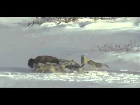 Bison running from wolves