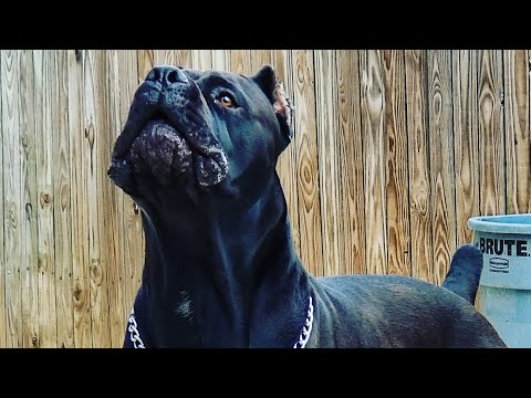 Cane Corso protecting his property and his pups