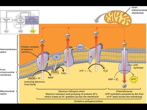 Biochemistry Lecture 11 Electron Transport Chain Etc Youtube