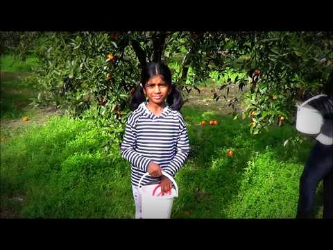 Orange Picking in farm: Travel around Sydney Australia best attractions & secrets