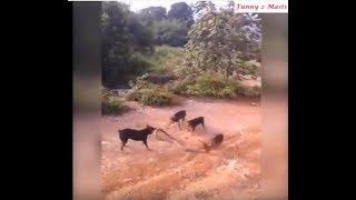 Dogs and snakes fight !! কুকুর ও সাপের লড়াই। পাঁচটি কুকুর মিলে মেরে ফেলল বিষাক্ত সাপটিকে !!