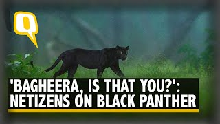 Viral Photos of Rare Black Panther in Karnataka's Kabini Leaves Netizens Awestruck | The Quint