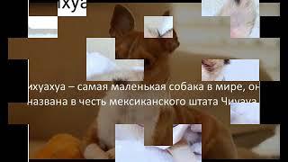 """Порода """" Чихуахуа"""" / Видео"""