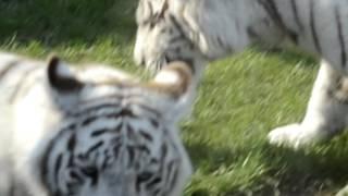 Białe tygrysy karmienie / white tigers / Zoo Safari Borysew