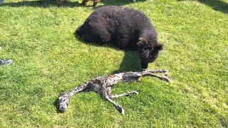 Download Alpaca Gives Birth to Strange Baby