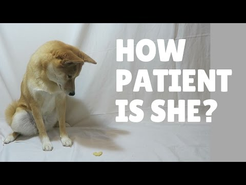 How Patient is a Shiba Inu Dog? Patience test!