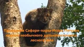 Кормление дальневосточного кота на дереве