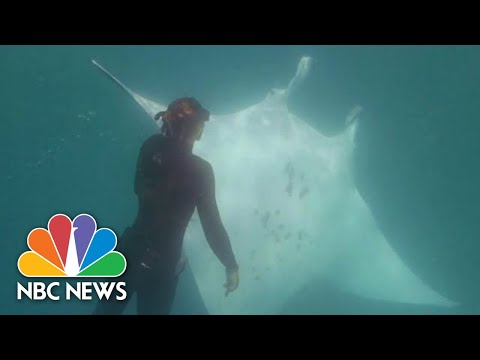 A Manta Ray With A Fishhook Near Its Eye Seemingly Asked Snorkelers For Help | NBC News