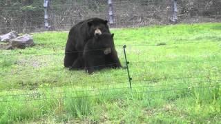 クマが交尾しかけて・・・。
