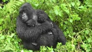 Gorilla Twins, Day 5: Hirwa Group, Rwanda