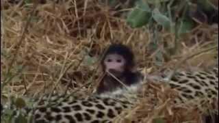 Repeat youtube video [Video cảm động về động vật] Báo giết chết khỉ mẹ, nhưng lại bảo vệ khỉ con!