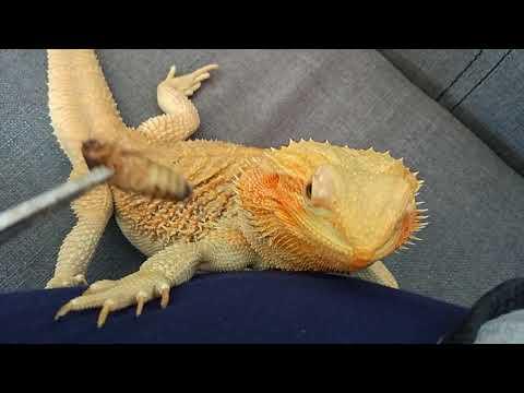 видео: Бородатая агама обиделась