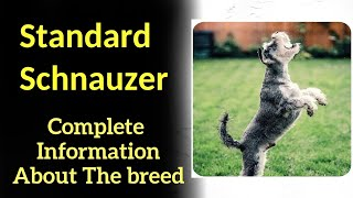 Standard Schnauzer. Pros and Cons, Price, How to choose, Facts, Care, History