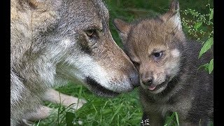 Мужчина подобрал в лесу одинокого волчонка и воспитал его. Повзрослев, волчица ушла обратно в лес….