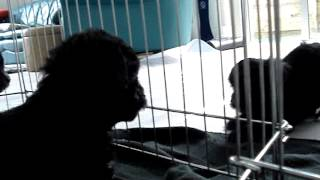 Toy Poodle X Brussels Griffon Puppies