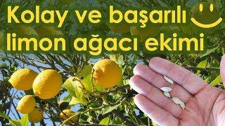 Limon çekirdeği ekimi - Limon ağacı nasıl yetiştirilir? - En başarılı yöntem