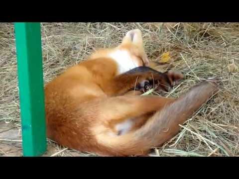 спит убитая лисичка MP3 скачать бесплатно, музыка спит