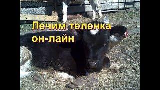 Как лечить теленка от поноса. Лечим пошагово, день за днем