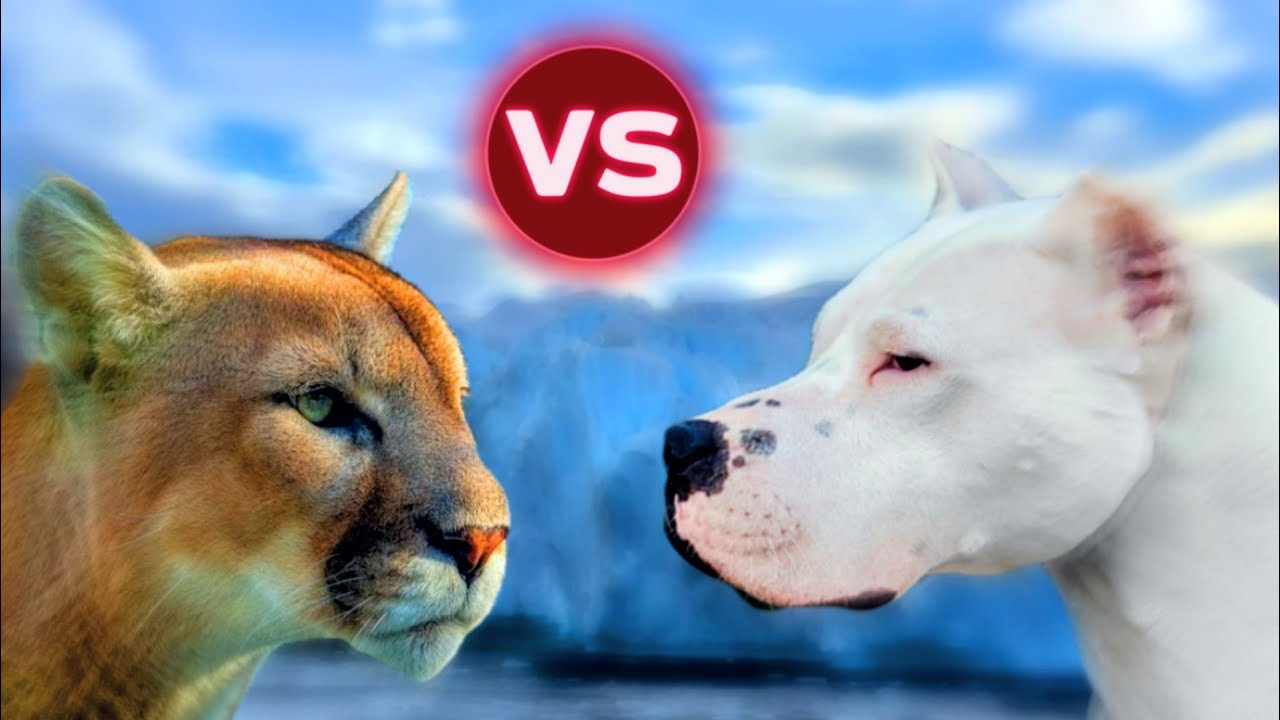 Dogo Argentino VS Puma - YouTube