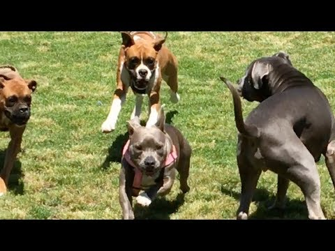 Two Boxers Hassle and Frighten a PitBull