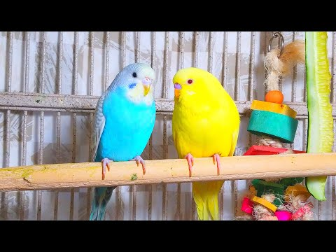 3.5 Hr Cute Budgies Chirping Parakeets Sound Reduce Stress Healing ADHD Anxiety Heart Disease