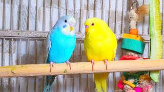 3.5 Hours Budgies Chirping Parakeets Sounds Reduce Stress Nature Bird Sounds Background Sounds