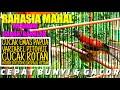 Rahasia Cepat Bunyi Dan Gacor Merawat Cucak Emas Papua Bahan Bakalan  Mp3 - Mp4 Download
