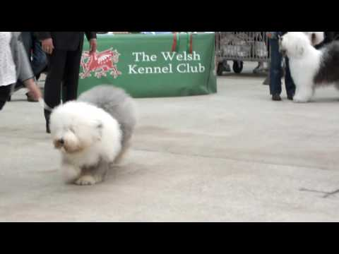 Good example of Old English Sheepdogs movement  ..