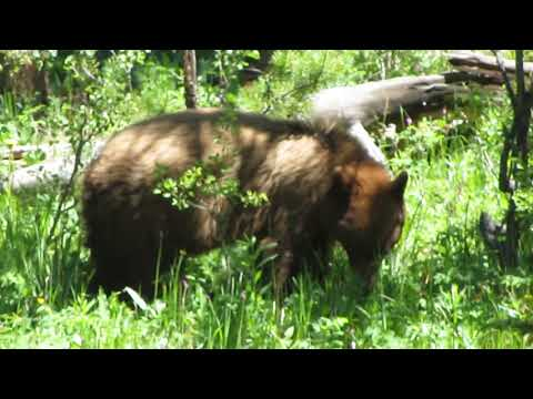 Grazing bear between Norris and Mammoth, Yellowstone Nat'l Park