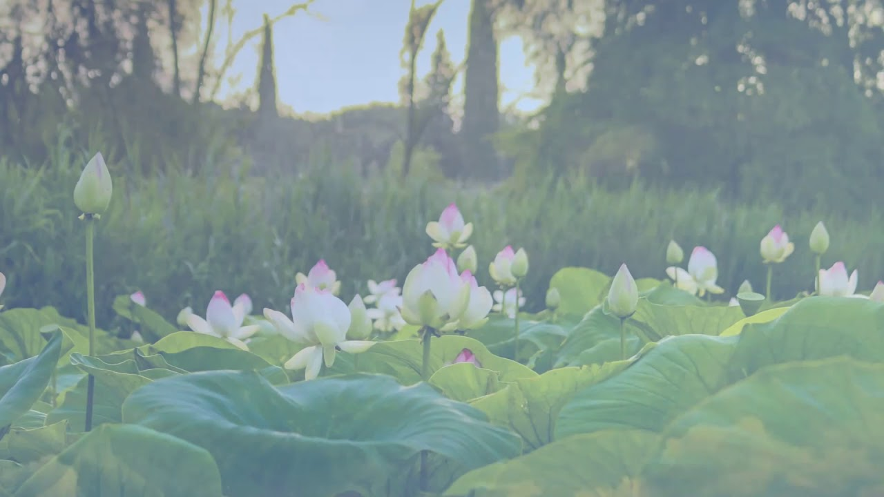 Bloom like a Lotus Flower
