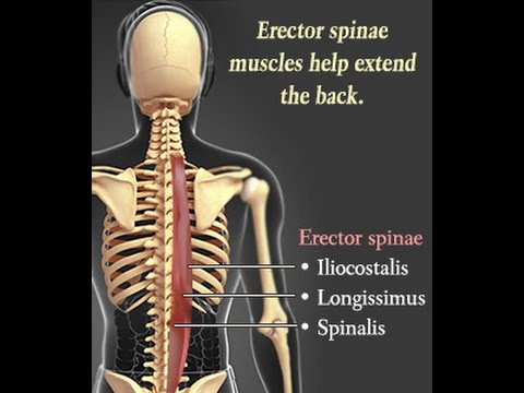 Erector Spinae Muscle Anatomy Diagram Enthusiast Wiring Diagrams