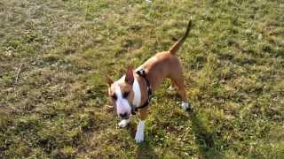Mini Bull Terrier On The Walk