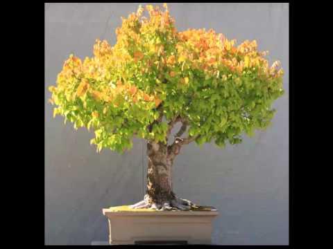 Bonsai Boom Verzorgen : Japanse zelkova bonsai: leer hoe jij je bonsai boom kunt kweken