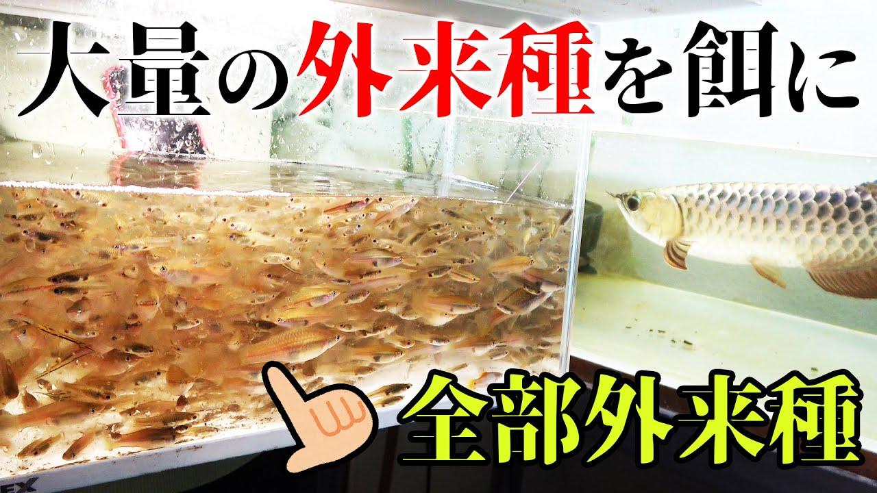 異常繁殖した大量の外来魚を捕獲してアロワナの餌に