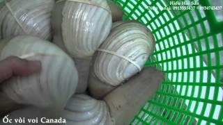 Ốc vòi voi Canada – Tôm hùm Canada Tôm hùm Việt Nam – Cá mú nghệ