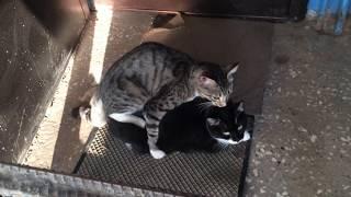 A cat having sex