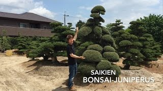 How to pruning the Juniperus