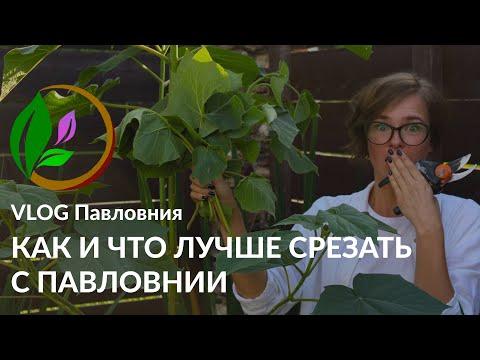 Вопрос: Павловнию (райское дерево) в Приморье – кто-нибудь выращивал?