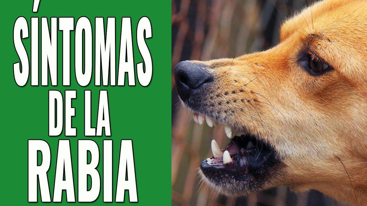 Resultado de imagen para perro con rabia