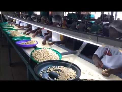 Cashew Processing in Ghana