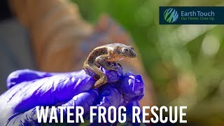 Last-minute mission to save endangered frogs in Chile