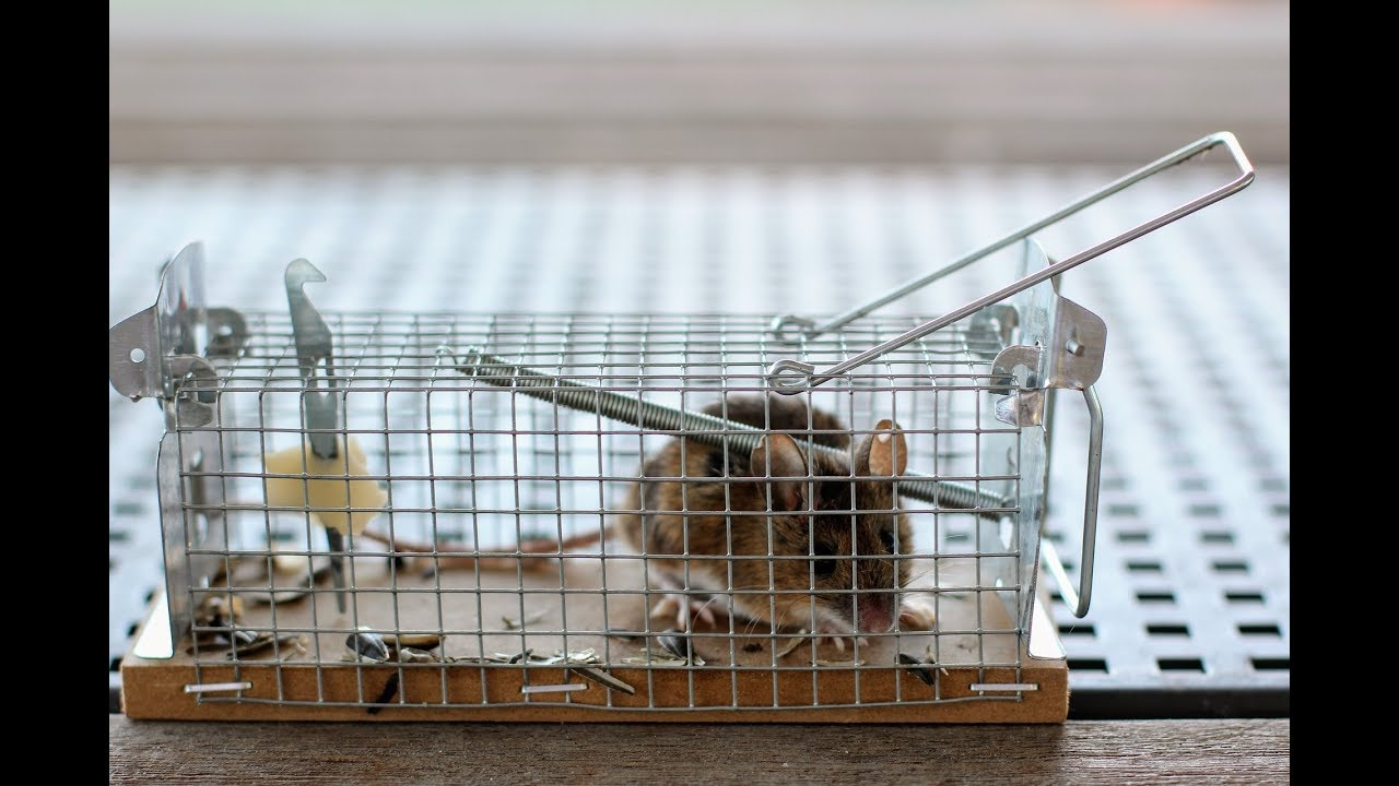 J Ai Une Souris Chez Moi invasion de souris, comment lutter ?