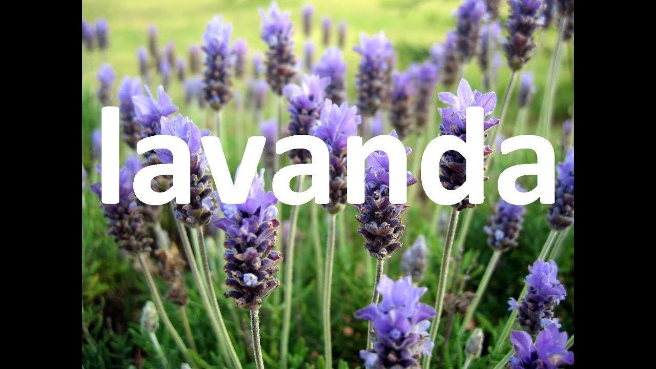 Plantas medicinales la lavanda youtube for Fotos de lavanda