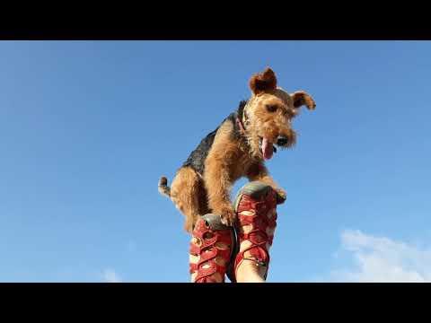 A new trick Vegy Welsh Terrier