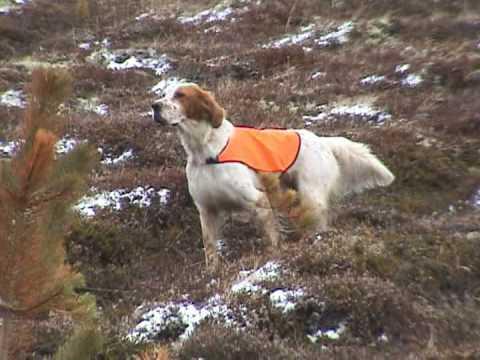 English setter hunting ptarmigan rype goose grouse. Caccia setter inglese setteringlese.