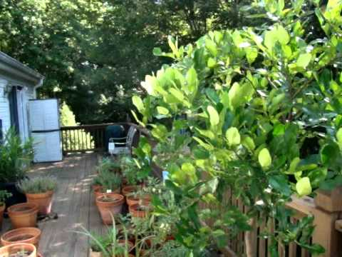 Kaffir lime tree and scale insects donna 39 s gardens youtube - What is lime used for in gardening ...