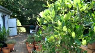 Kaffir Lime Tree And Scale Insects - Donna's Gardens