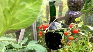 #TomatoBottle and Tomato Plants Update