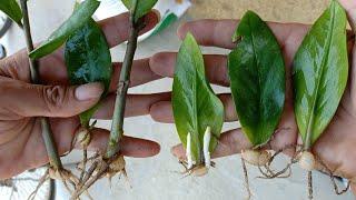 Cách Nhân Giống Trồng Cây Kim Tiền Nhanh Và Đơn Giản / how to grow and care zz plant (zanzibar gem)