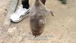 поймали гигантскую крысу в африке !!!